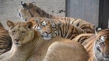 Un tigre qui dort sur une lionne... Adorable