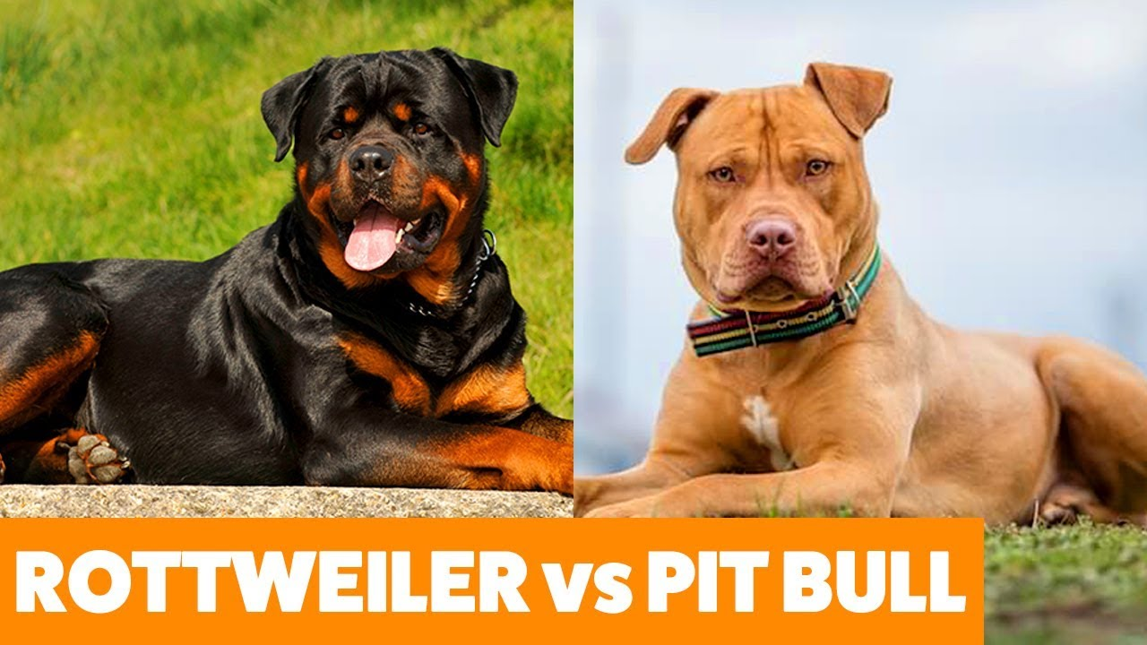 Rottweiler vs Pit Bull Terrier – Dogs 101 – Funny Pet Videos