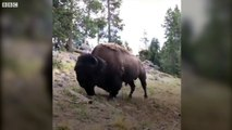 Bison charges at girl in Yellowstone National Park - BBC News