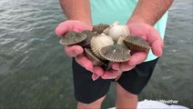 Above average rainfall could be linked to bad scallop season this year