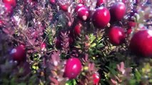Cranberry Harvest Flooding & Beating Off the Berries!!