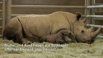 Seltenes Breitmaulnashorn in US-Zoo geboren