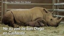 Naissance d'un rhinocéros blanc conçu par insémination
