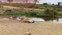 Une gazelle fait une feinte à une lionne qui arrive à toute vitesse