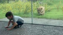 Une lionne se jette sur un enfant, heureusement une vitre les sépare