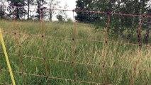 La tendance de l'éco-pâturage dans la Loire