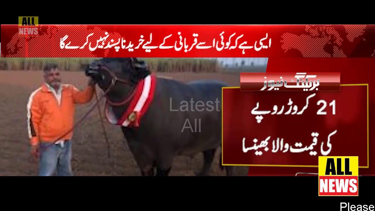 Buffaloes worth Rs 21 crore in mandi   Eid al-Adha   Muslim   Cow