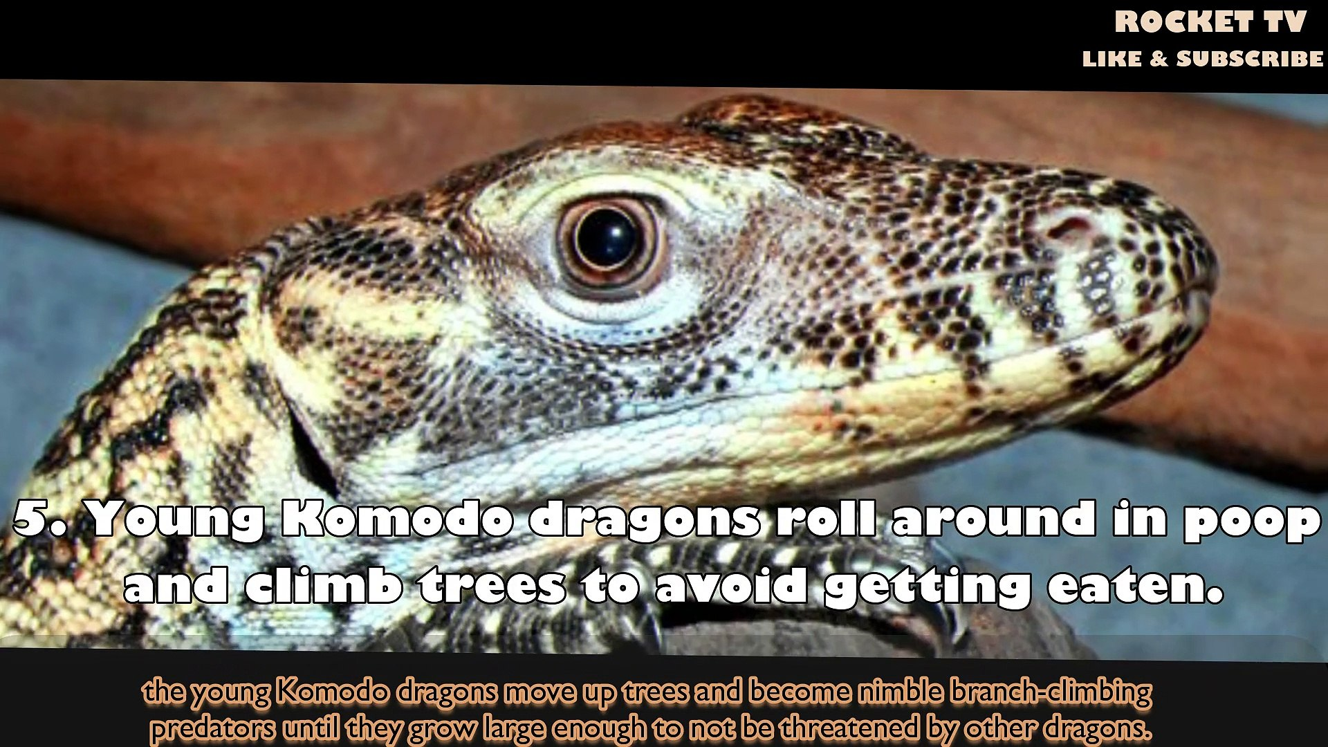 facts komodo dragon