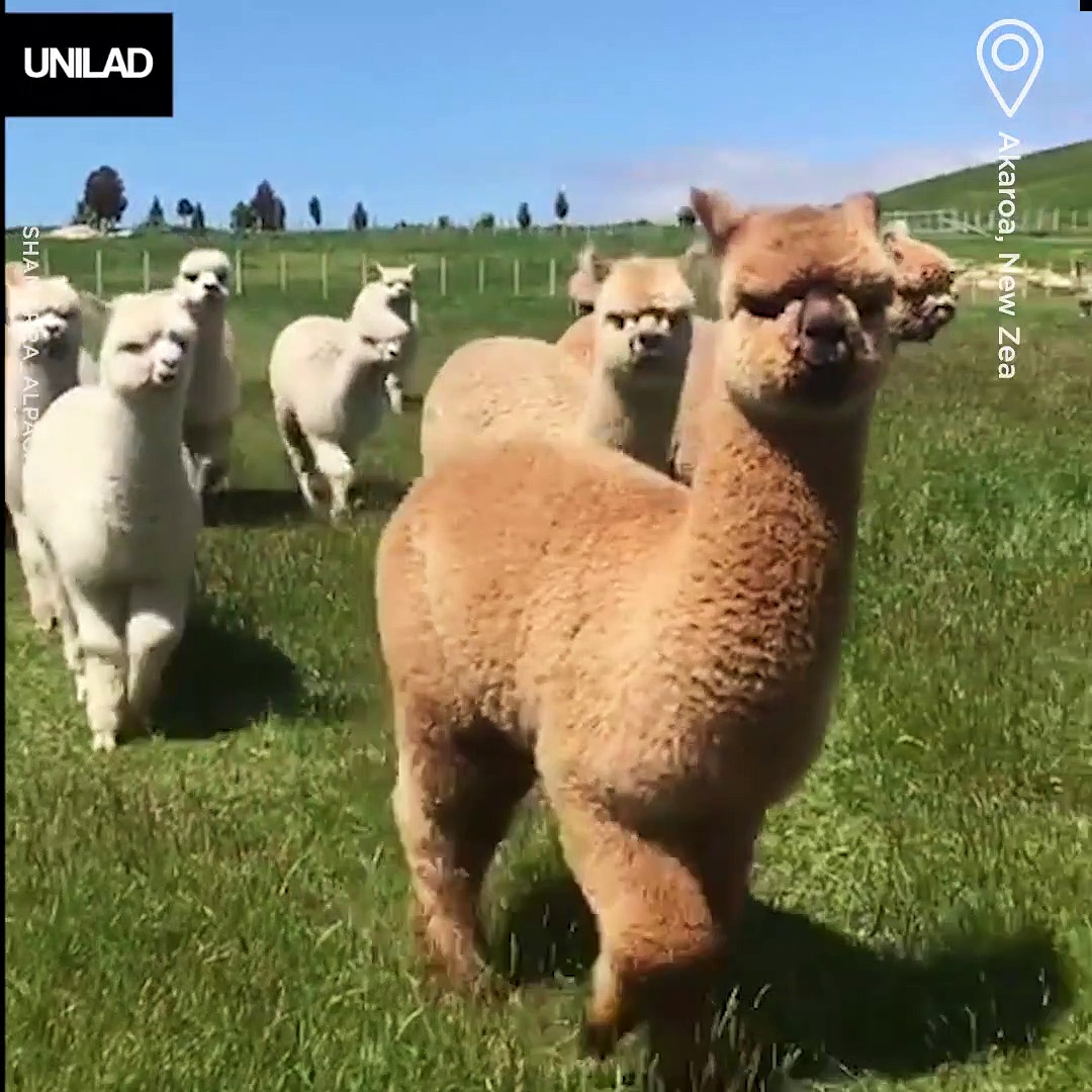 Alpaca Compilation