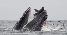 Un Américain a photographié le moment où un lion de mer est avalé par une baleine à bosse