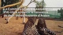 Arabie saoudite: naissance de deux bébés léopards d'Arabie