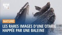 Les rares images d'un lion de mer happé par une baleine à bosse