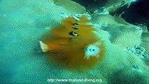 plongee corail a koh tao avec le centre de plongee Thailand Diving Club Pattaya
