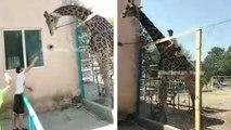 Un homme ivre monte sur le dos d'une girafe