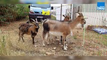 Chèvres à louer dans les Deux-Sèvres pour débrousailler