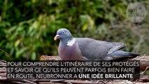 Les pigeons, ancêtre des drones