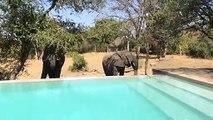 Des éléphants viennent boire de l'eau de cette piscine