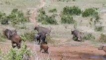 Un éléphanteau courageux fait fuire un troupeau de buffles
