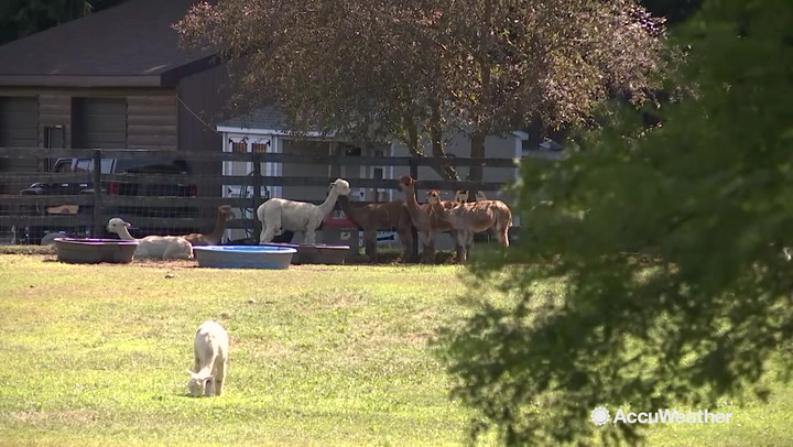These alpacas do whatever they can to beat the heat