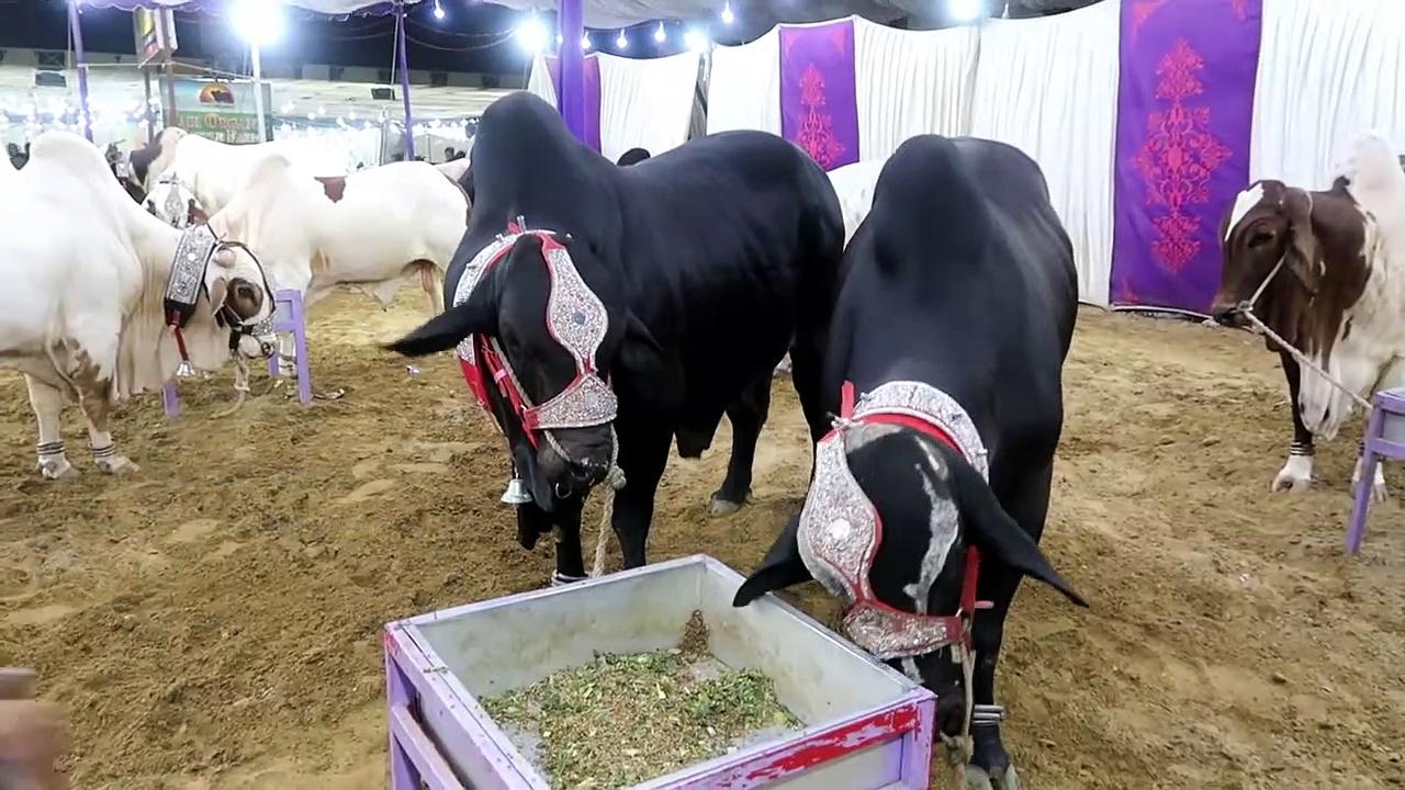 DACCAN CATTLE FARM – COW MANDI SOHRAB GOTH 2019 KARACHI – VIP Tents – Episode 18