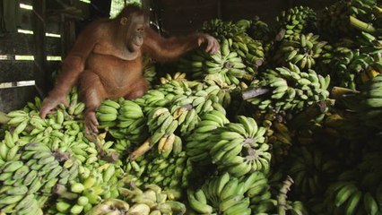 This Pudgy Orangutan Loves Bananas a Little Too Much