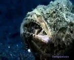 Ce monstre marin surgit de nulle part pour dévorer un poisson... scorpionfish