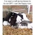 Une amitié pas comme les autres entre une vache et un chat. Trop cute !