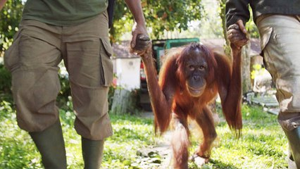 Mother Orangutan Reunites with Infant Daughter