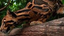 Ce félin est le plus beau du monde : Panthère nébuleuse