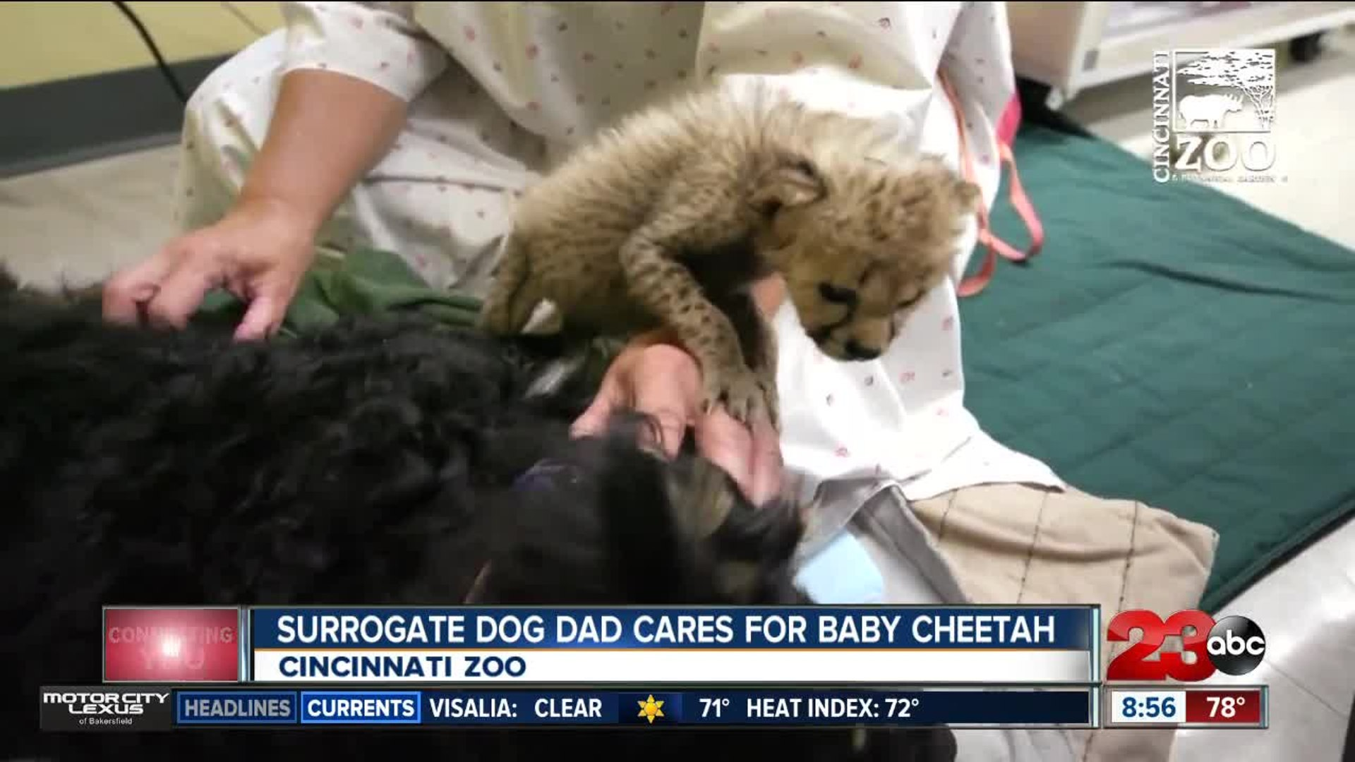 Surrogate dog dad cares for baby cheetah