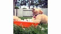Funny And Cute Golden Retriever Puppies Compilation #1 - Cutest Golden Puppies Love