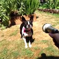 Breed All About It: Boston Terriers