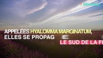 Des tiques géantes capables de courir après leur proie, se propagent en France