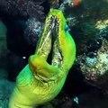 Halucinant ! Cet Anguille de murène verte est extraordinairement hypnotisant. Admirez !