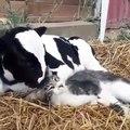 Quand une vache s'occupe de toiletter un chat. Étonnant !