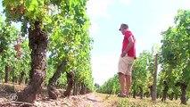 Sécheresse : les viticulteurs pas malheureux