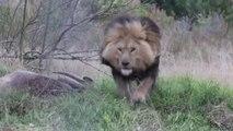 Un lion sauvage prend en chasse ce photographe Pakistanais... Terrifiant