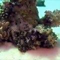 Bluffant ! Observez comment la pieuvre se camoufle sous la mer