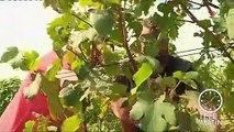 Les vignobles souffrent de la sécheresse