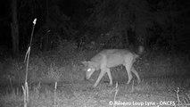 Un loup filmé près de Chaux-Neuve dans le Haut-Doubs