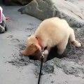 Ce chiot ne veut pas arrêter de creuser dans le sable de la mer. Trop chou !