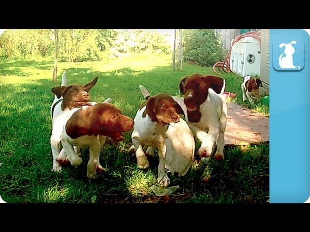 Puppy Love – German Shorthaired Pointers