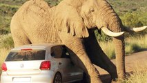 Lion, Rhino and Elephant Attack Cars and Tourist