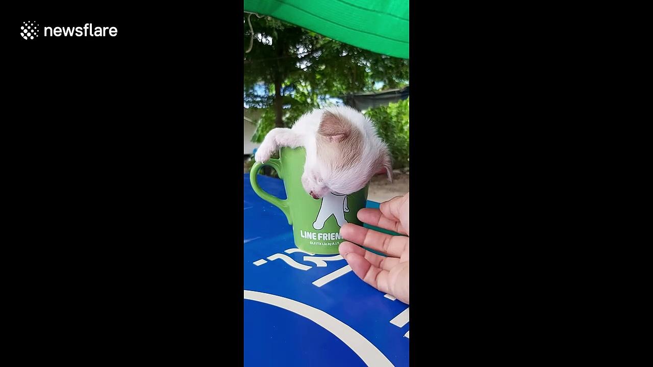 Thai chihuahua adorably falls asleep in mug