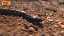 Snake-catcher pulls deadly king cobra from motor scooter