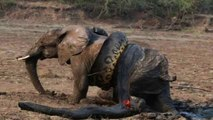 Snake Vs Bull Elephant Python Vs Elephant Lion Attacks Animal Fight Back Nature Wildlife
