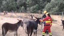 Burros bomberos para combatir los incendios forestales