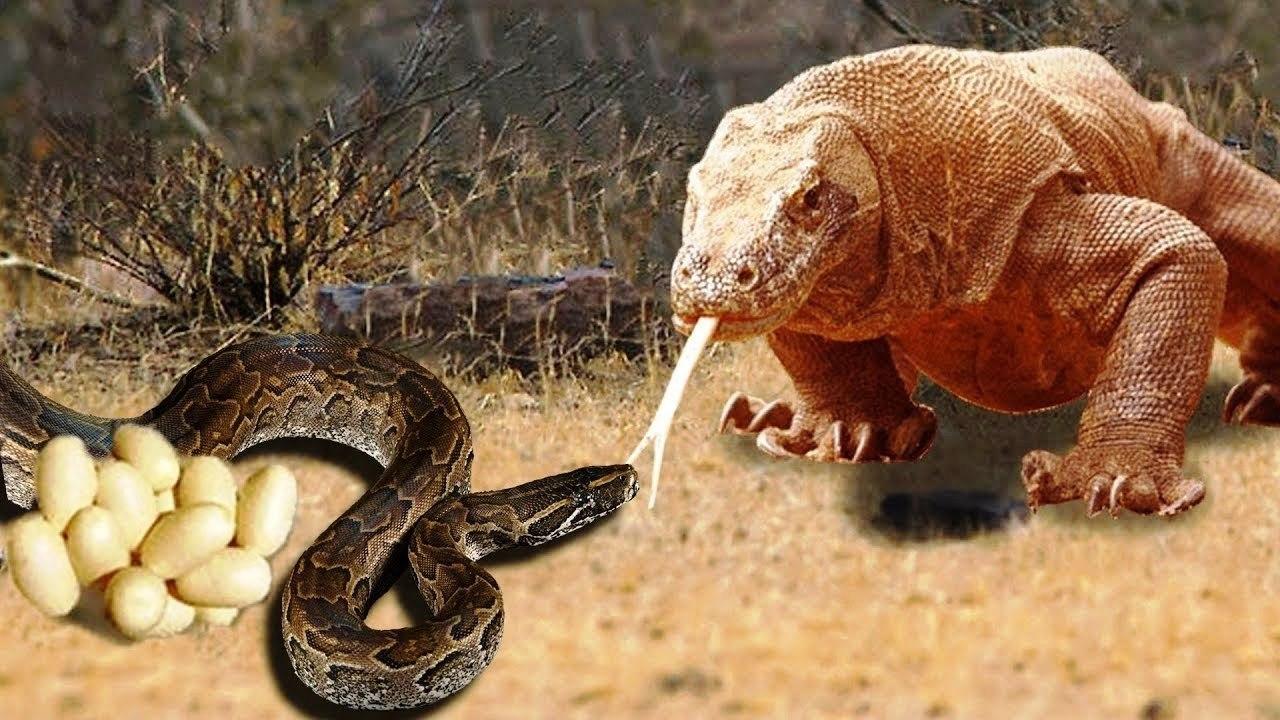 Amazing King Cobra Fight Lizard Dragon Komodo Hunting Snake Vs Lizard The Reptiles Of The Desert Video Dailymotion
