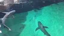 Les requins choyés par l'Océarium du Croisic