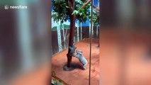 Koala mother helps her baby climb down tree at Guangzhou Chimelong Safari Park